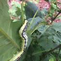 White-Lined Sphinx Larva