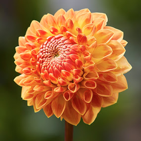Dahlia 9875~ 1 by Raphael RaCcoon - Flowers Single Flower