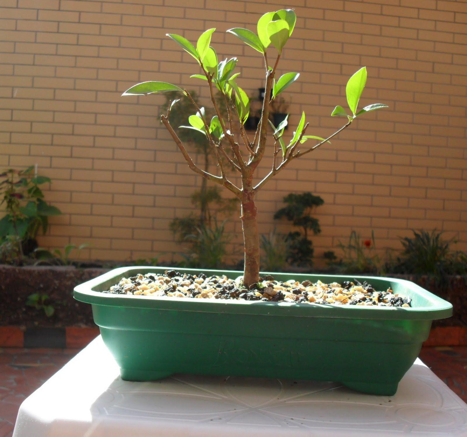 bonsai cerejeira no vaso