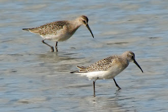 Photo: Curlew Sandpipers