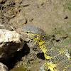 Nile (water) monitor