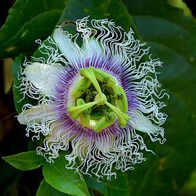 Passiflora edulis_Passion fruit flower by Bhaskar Patra - Flowers Single Flower