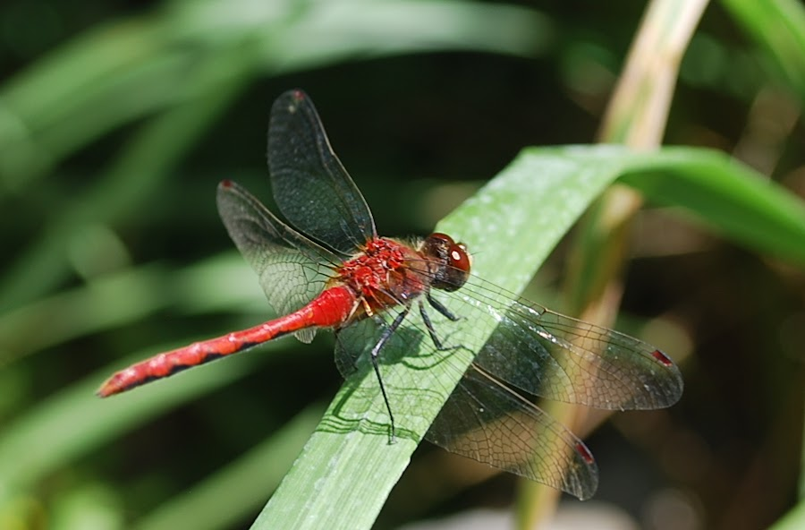 Red-waisted white face damzelfly by Margo Blackwood - Animals Insects & Spiders