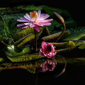 Water Lilly and reflects by Andre Minoretti - Flowers Flowers in the Wild ( nature, water lilly, water flower, flower photography, flowers photo )