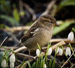 Photo: Bird N°2 - House Sparrow ♀ Latin: Passer domesticus