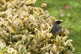 Photo: Sardinian Warbler (Samtkopfgrasmücke); Barcelona, ESP