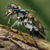 Golden-spotted Tiger Beetle