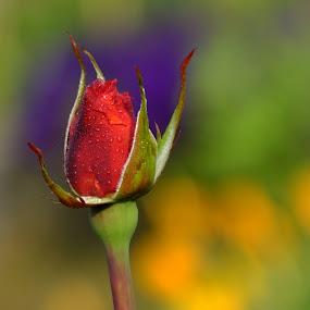 Colors of Love ! by Debartist Lightpainter - Flowers Flower Buds