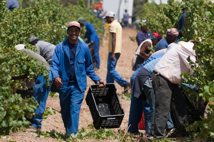 Harvest season on a wine farm in Stellenbosch, South Africa. The country is struggling with land redistribution.