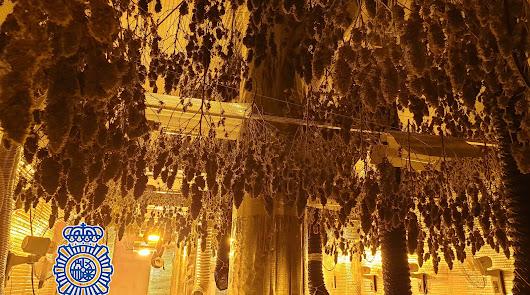 Desmantelan un secadero de marihuana en un garaje de la Avenida del Mediterráneo