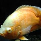 Tiger Oscar (Albino)
