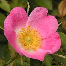 Photo: Wildrose Rubiginosa/Wein-Rose