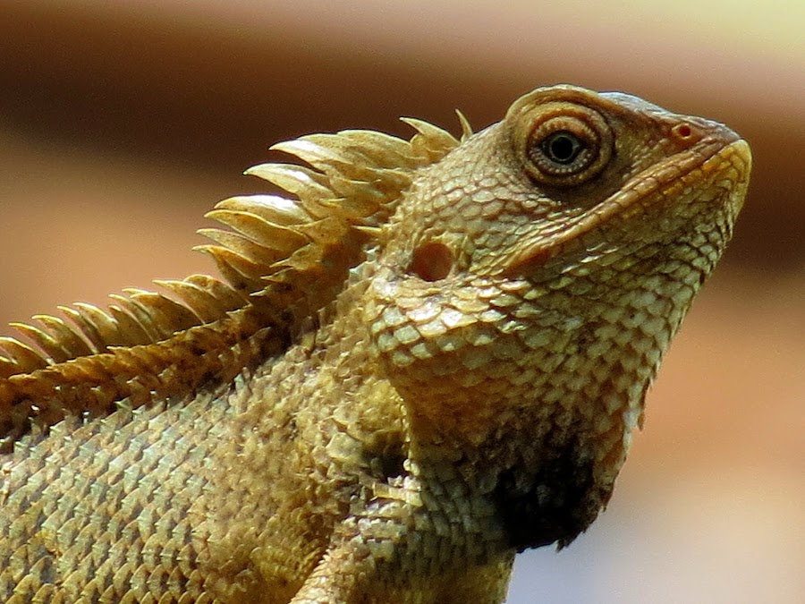 A curious chameleon by Jayasankar Madhavadas - Animals Reptiles ( kerala, india, reptile, chameleon )