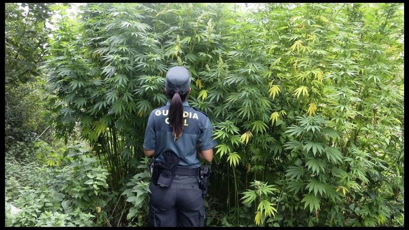 Una agente de la Guardia Civil en una plantación de marihuana.