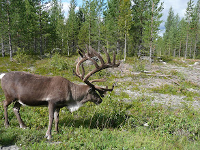 Photo: Quite a big reindeer posing next to the road