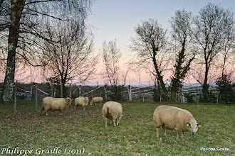 Photo: Coucher de soleil - Moutons