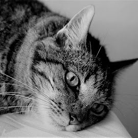 by Luis Orchevecs Ferenczi - Animals - Cats Portraits