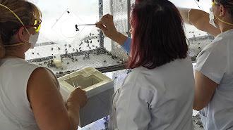 Expertos realizan la fecundación para la producción de colmenas de abejorros.