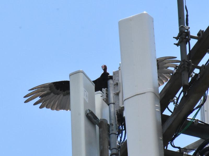 Avvoltoio dalla testa rossa di barbara_fettuccia