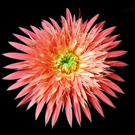 Gerbera  by Asif Bora - Instagram & Mobile Other (  )
