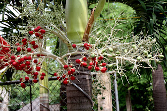 Photo: Year 2 Day 29 - Berries on a Palm Tree