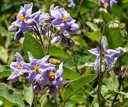 Photo: Solanum bonariense