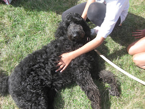 Photo: Ralph Labradoodle chillaxing at the DogBasics Fun Day 2013