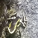 Yellow-stripped Poison Dart Frog