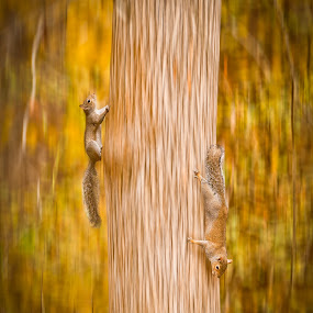 Going Up, Going Down by Roger Armstrong - Animals Other Mammals ( motions, squirrels, nature, trees, blur )