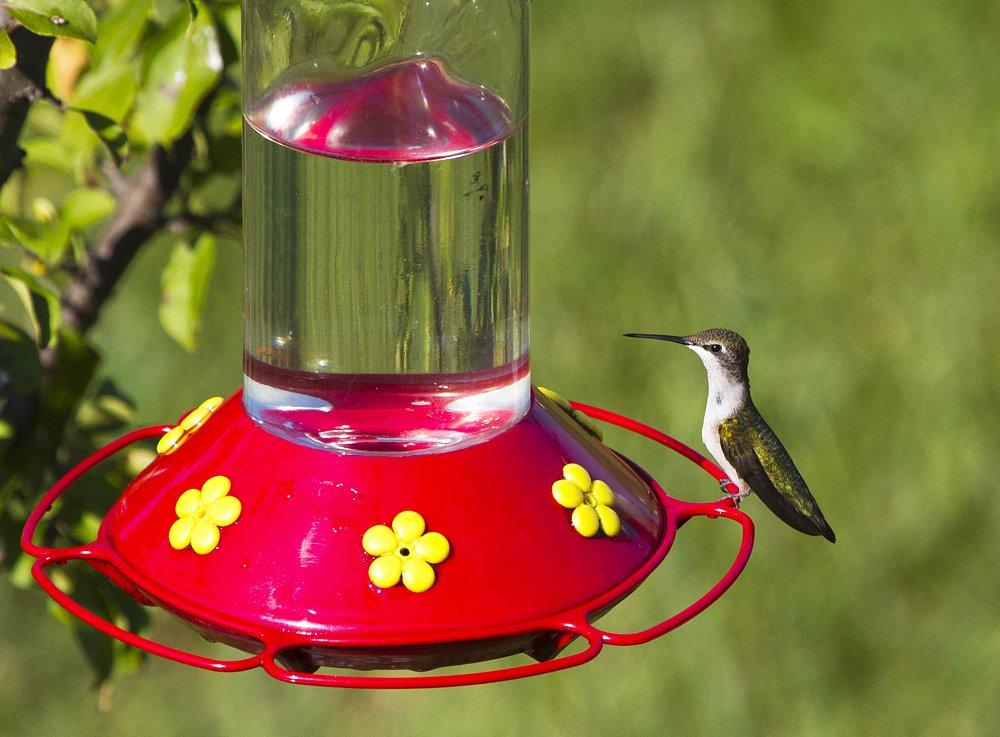 Photo: A Hummer in the backyard enjoy its homemade treat #BackyardbirdingMonday curated by +Celeste Odono & +Ricky L Jones #Canon #Birds #hummingbird #hummingbirdsunday #Nature #backyardbirding