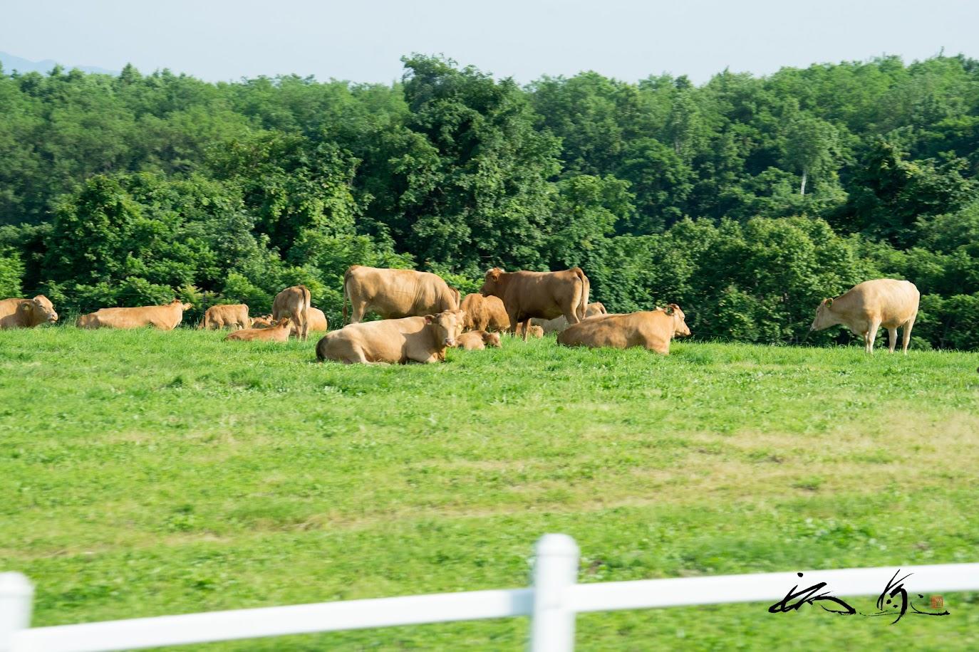 牧場で戯れる赤毛和牛