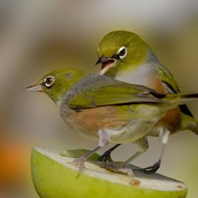 My Turn! by Trevor Bond - Animals Birds ( bird, white eye, nz, waxeye,  )
