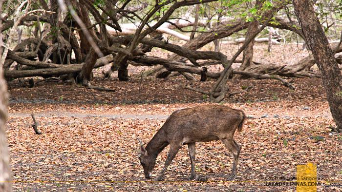 Timor Deer Rinca Island Indonesia
