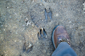 Photo: Deer tracks at the top and bottom of the picture. I couldn't identify the track next to my foot.