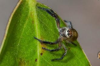 Photo: A magnificent jumping spider on the hunt Uma magnífica aranha-saltadora à caça
