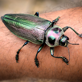 Besouro by Claudio Maranhao - Animals Insects & Spiders ( besouro, pernambuco, insects, brasil,  )