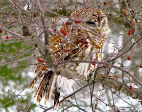 Photo: Cute little owl at Barnes Camp near Smugglers Notch State Park