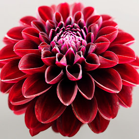 Hold Your Head Up and Smile by Gillian James - Flowers Single Flower ( close up, dahlia, maroon, petals, flower )