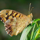 Maculada (Speckled wood)