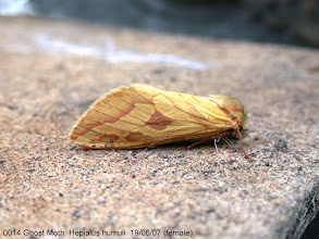 Photo: Female Ghost Moth