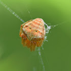 Common Hairy Field Spider