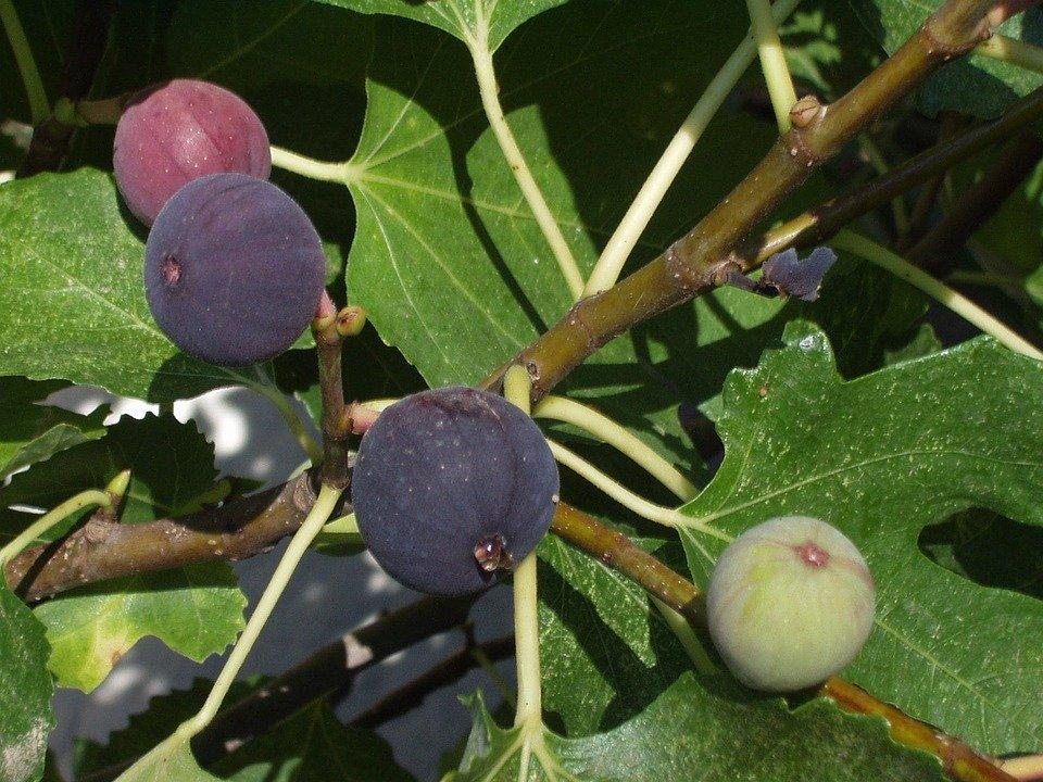 Edible Figs on Fig Tree