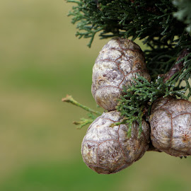 Little pine cones by Cristina Nunes - Nature Up Close Other plants (  )