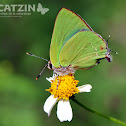 Tropical Greenstreak