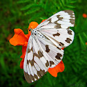 The Marbled White Moth