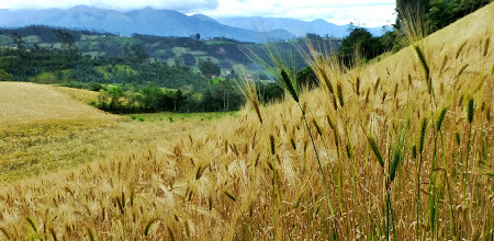 Photo: Wheat field.  Cotopaxi volcano shrouded in background