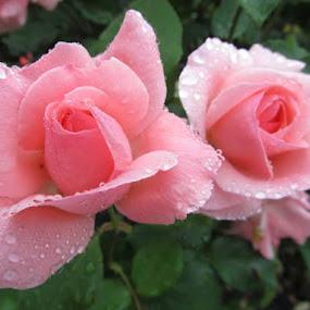 by Maricor Bayotas-Brizzi - Flowers Flower Gardens (  )