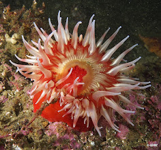Photo: Fish eating sea anemone