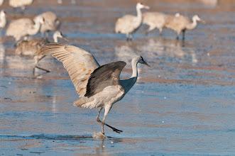 Photo: Sandhill crane walking on thin ice; Bosque del Apache