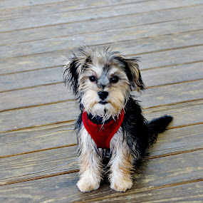 Mama's Boy by Keri Butcher - Novices Only Pets ( morkies, animals, s morkie, pets, rescued, dog )